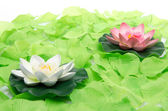 Water lilies surrounded by green petals — Stock Photo