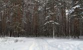 Winter pine forest under snow — Stock Photo