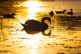 Swan swimming in the lake at sunset — Stock Photo
