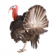 Stock Photo: Turkey cock isolate on white