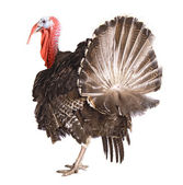 Turkey cock isolate on white — Stock Photo
