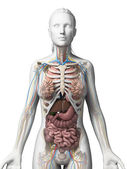 3d rendered illustration of the female anatomy — Stock Photo