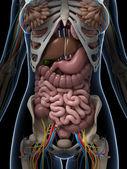 Işlenmiş illüstrasyon kadın anatomisi — Stok fotoğraf