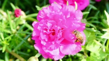 Bee collects nectar inside the flower, full HD. — Stok video