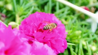Bee collects nectar inside the flower, full HD. — Video Stock