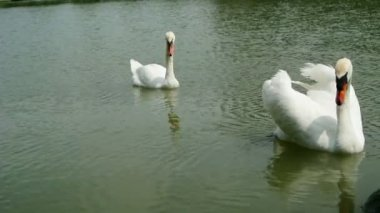 Pair of white swans foraging in the lake, FullHD. — Vidéo