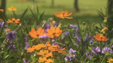 Cosmos flowers in the wind, HD. — Stock Video
