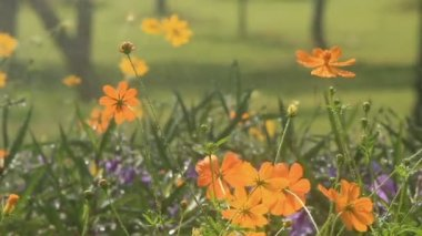 Raining Cosmos flower, HD. — Stock Video
