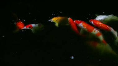 Colorful koi carps in pond, full HD. — Stock Video