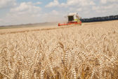 Close-up ears of wheat at field and harvesting machine on background — Stock Photo