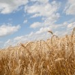 Stock Photo: Grain field and cloudy sky