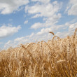 Grain field and cloudy sky — Stock Photo
