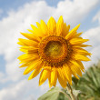 Stock Photo: Sunflower on a background of cloudy sky
