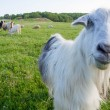 Funny goat looking to a camera in a field — Stock Photo #40616649