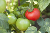 Bunch of organic tomatoes in the garden. Bio product — Stock Photo