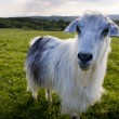 Goat looking to a camera in a field — Stock Photo #42107741