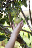 Picking apple from tree — Stock Photo
