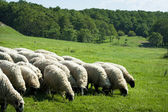 Grazing sheep herd on green field — Stock Photo