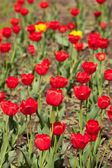 Red and yellow beautiful tulips field — Photo