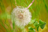 Close up of fluffy dandelion — Stock Photo