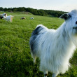 Funny goat looking to a camera in a field — Stock Photo #43743639