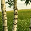 Three birches — Stock Photo #39797667