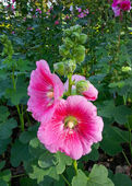 Hollyhock or alcea rosea l. — Stock Photo