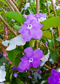 Yesterday today and tomorrow flowers, or brunfelsia uniflora poh — Stock Photo