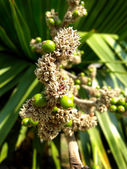 Flowers of cuban petticoate palm or copernicia macroglossa — 图库照片