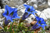 Three blue folwers of mountain among the Abruzzo rocks — Stock Photo