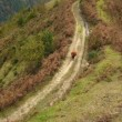 Stock Video: Aerial view. Lonely cow on mountain trail. Caucasus Mountains. Autumn