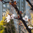 Plum Blossom of Scenics — Stock Photo #41297213