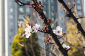 Plum Blossom of Scenics — Stock Photo
