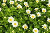 Camomile — Photo