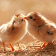Cute Babies Chicken — Stock Photo #39915193
