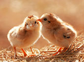 Cute Babies Chicken — Stock Photo