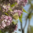 Butterfly on a branch оf the serene — Stock Photo #46235357