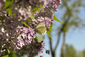 Butterfly on a branch оf the serene — ストック写真