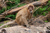 Curious monkey — Foto Stock