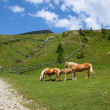 Stock Photo: Haflinger in South Tirol