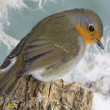 Robin in winter — Stock Photo #40098703