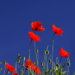 Poppy flowers in front of a dark blue sky — Stock Photo