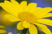Detail of a dyer's chamomile — Stock Photo