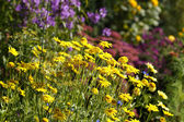 Flowerbed with dyer's chamomiles — Stock Photo