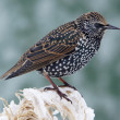 Starling on a frozen twig — Stock Photo