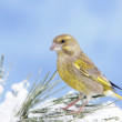 Greenfinch on a twig — Stock Photo