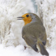 Robin in winter — Stock Photo #40541937