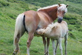 Sucking Haflinger foal — Stock Photo