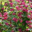 Stock Photo: Ribes sanguineum bush