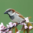 Sparrow on a blossoming twig — Stock Photo